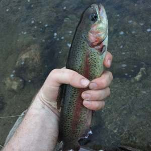 Rio Trout LT - rainbow trout