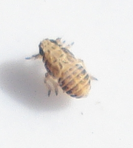 Planthopper Instar