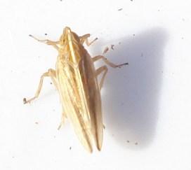 Stenocranus menutus