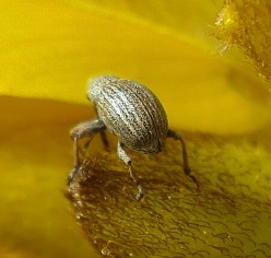 Gorse Weevil