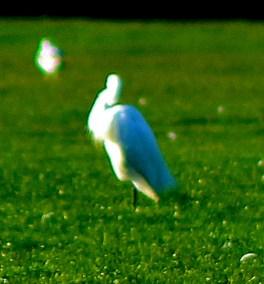 Litllle Egret