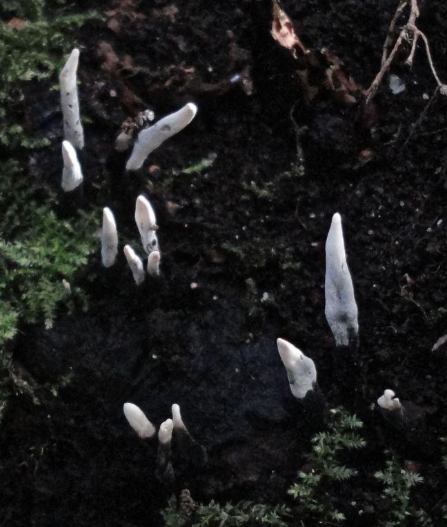 candle-snuff-fungus-xylaria-hypoxylon