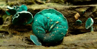 green-wood-cup-chlorosplenium-aeruginascens