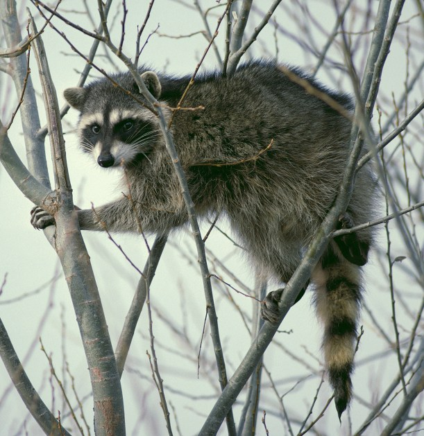 raccoon_climbing_in_tree_-_cropped_and_color_corrected