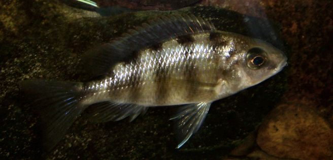 wp-u3-protomelas-fenestratus-adult-female