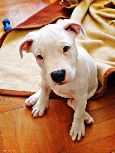 Ley perros potencialmente peligrosos