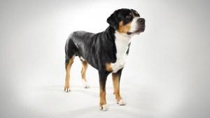 dermatitis en perros