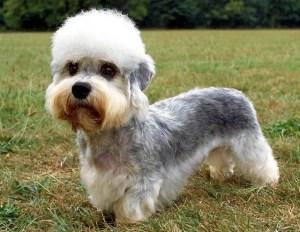 Terrier Dandy