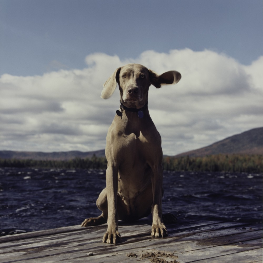 william wegman A new book of william wegman's photographs not only highlights his most beloved weimaraner images, but also portraits that seem otherworldly.