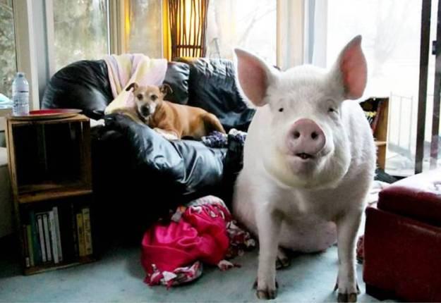 Cerdo Ester ahora con 300 kilos
