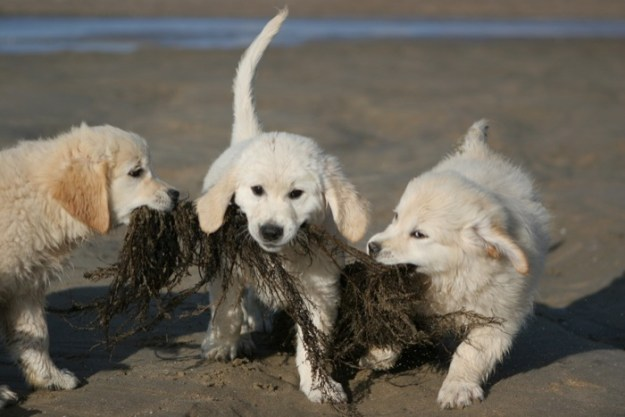 Perros mordiendo algas