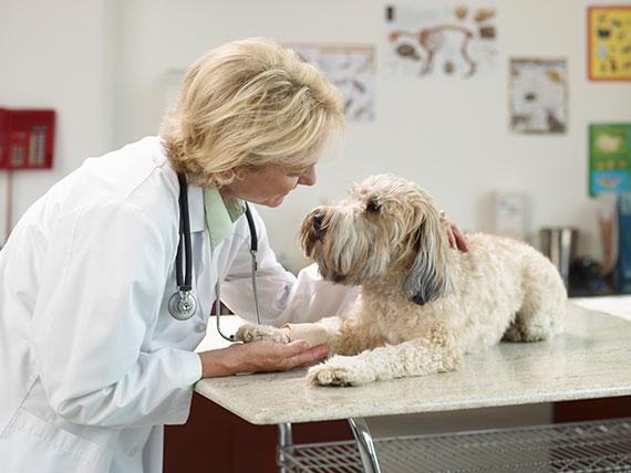 Veterinario curando perro enfermo