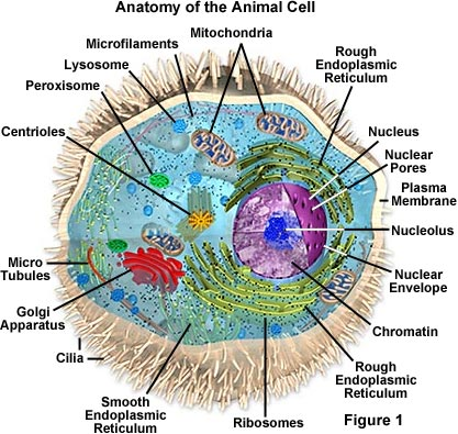 er diagram movie list iphone headphone wiring molecular expressions cell biology: animal structure