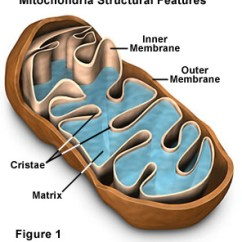 Simple Mitochondria Diagram 1999 Dodge Ram Ignition Switch Wiring Molecular Expressions Cell Biology