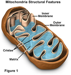 mitochondrion structure diagram sequence for atm molecular expressions cell biology mitochondria