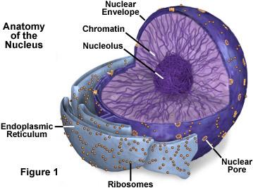 https://i0.wp.com/micro.magnet.fsu.edu/cells/nucleus/images/nucleusfigure1.jpg