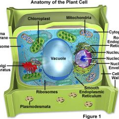 Parts Of A Cell Diagram Emg 81 85 Wiring Solder Molecular Expressions Biology Plant Structure