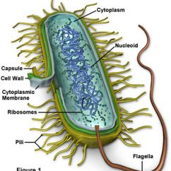 Human Cell Wall Diagram Labeled Block Definition Molecular Expressions Biology Bacteria Structure