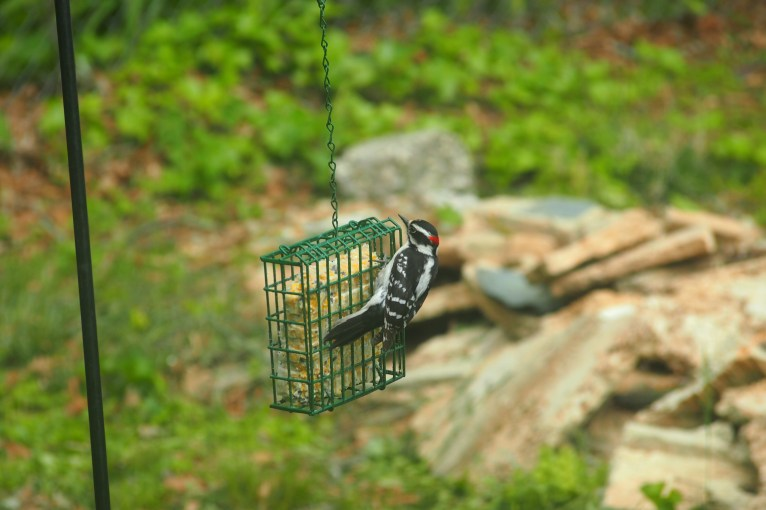 Black and white bird with red on its head eating from a suet feeder.