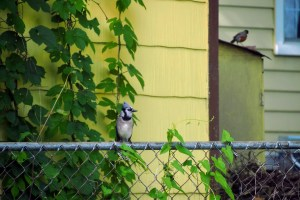 Blue Jay on a fence with a Robin in the background on a shed.