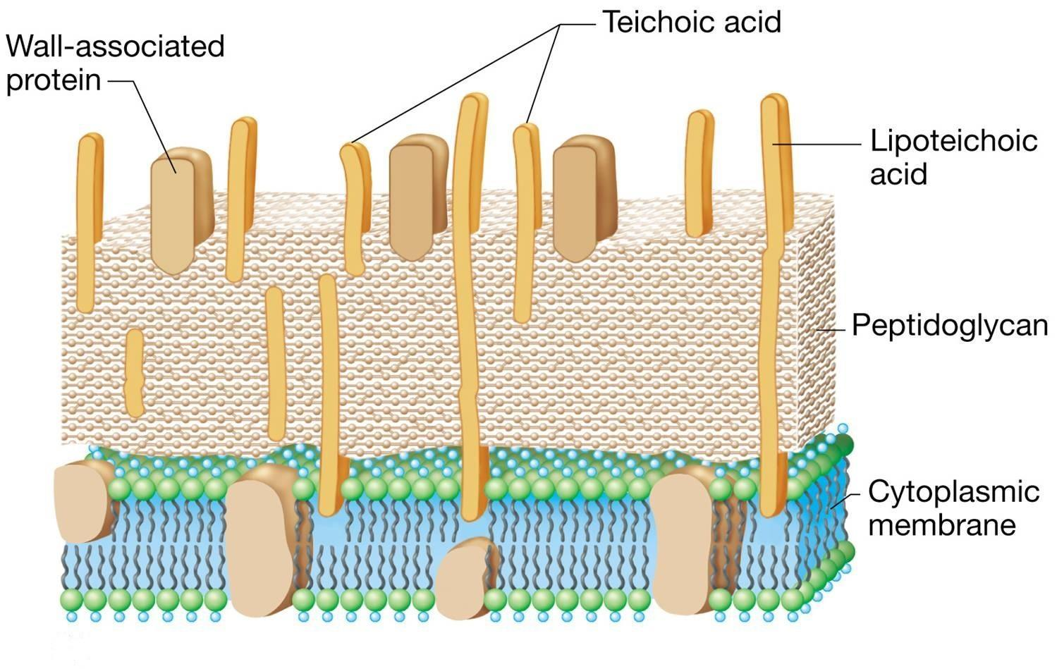 gram positive cell wall diagram ge motor 5kc wiring teichoic acid lipoteichoic characteristics and
