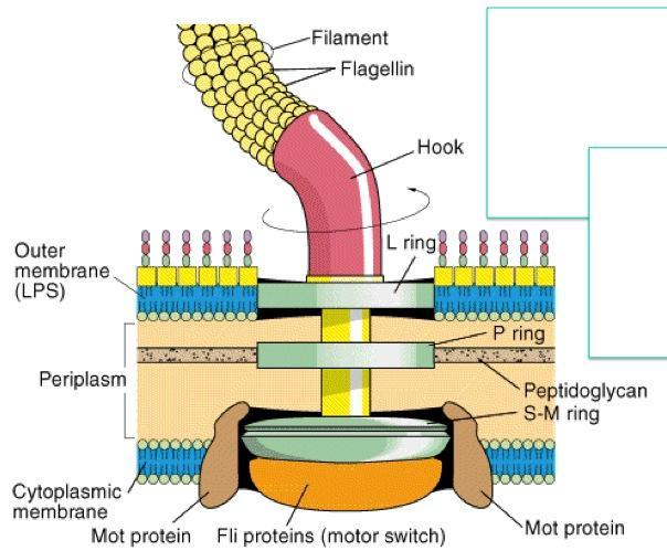 microbiology prokaryotic cell diagram labeled coronary anatomy bacterial flagella structure importance and examples of the flagellum