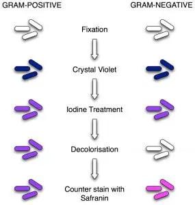 gram-stain-mine