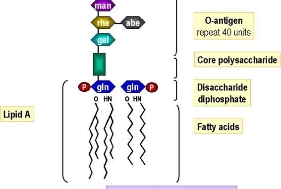 4t65e diagram lipopolysaccharide (lps) of gram negative bacteria ... #3
