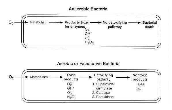Oxygen Requirements for Pathogenic Bacteria - Microbeonline