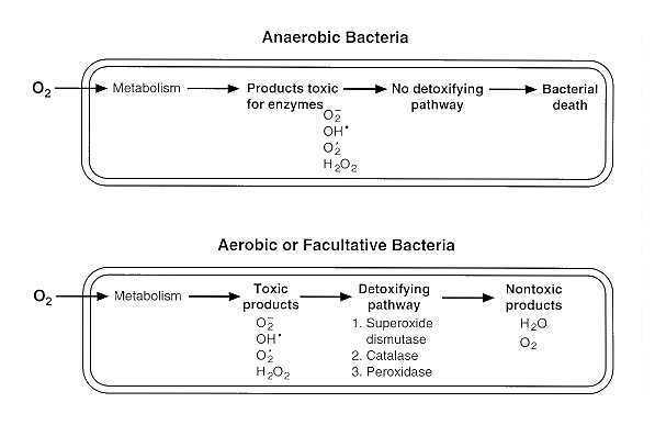 effects of oxygen on aerobic, anaerobic and facultative anaerobic bacteria