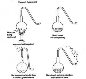 Swan necked experiment of Pasteur to disprove theory of spontaneous generation