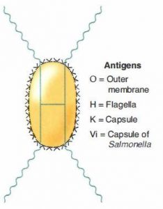 Antigens of Enterobacteriaceae family