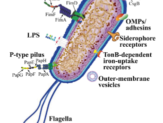 Uropathogenic E coli