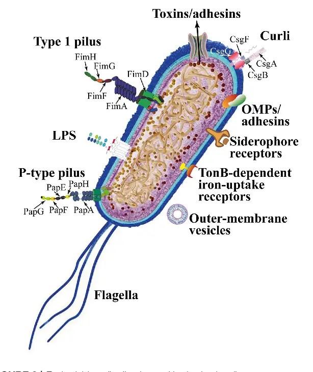Uropathogenic E coli