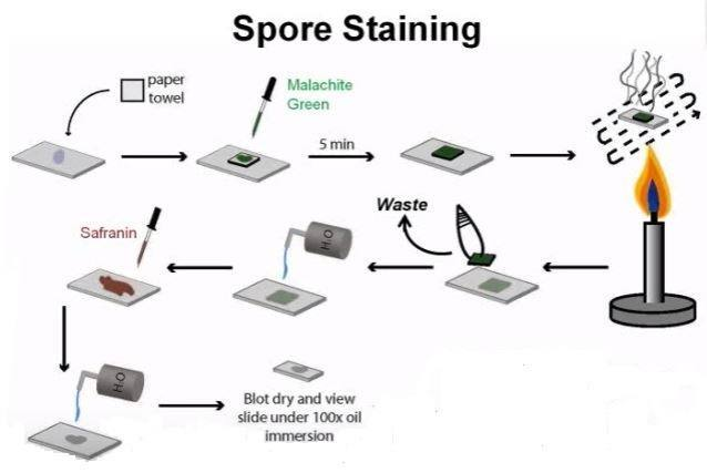 Endospore Staining: Principle, Procedure and Results