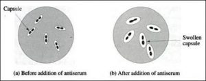 Swollen-Pneumococci-Capsule