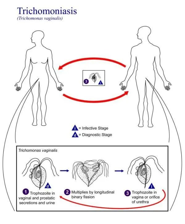 Life cycle of Trichomonas vaginalis
