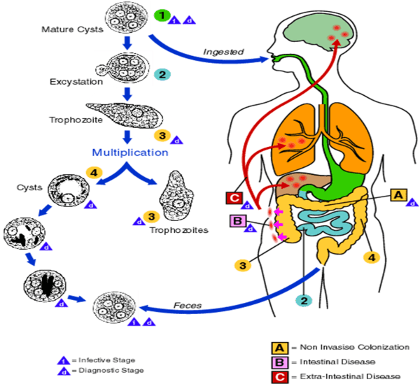 Life Cycle of Entamoeba histolytica (Source: CDC)