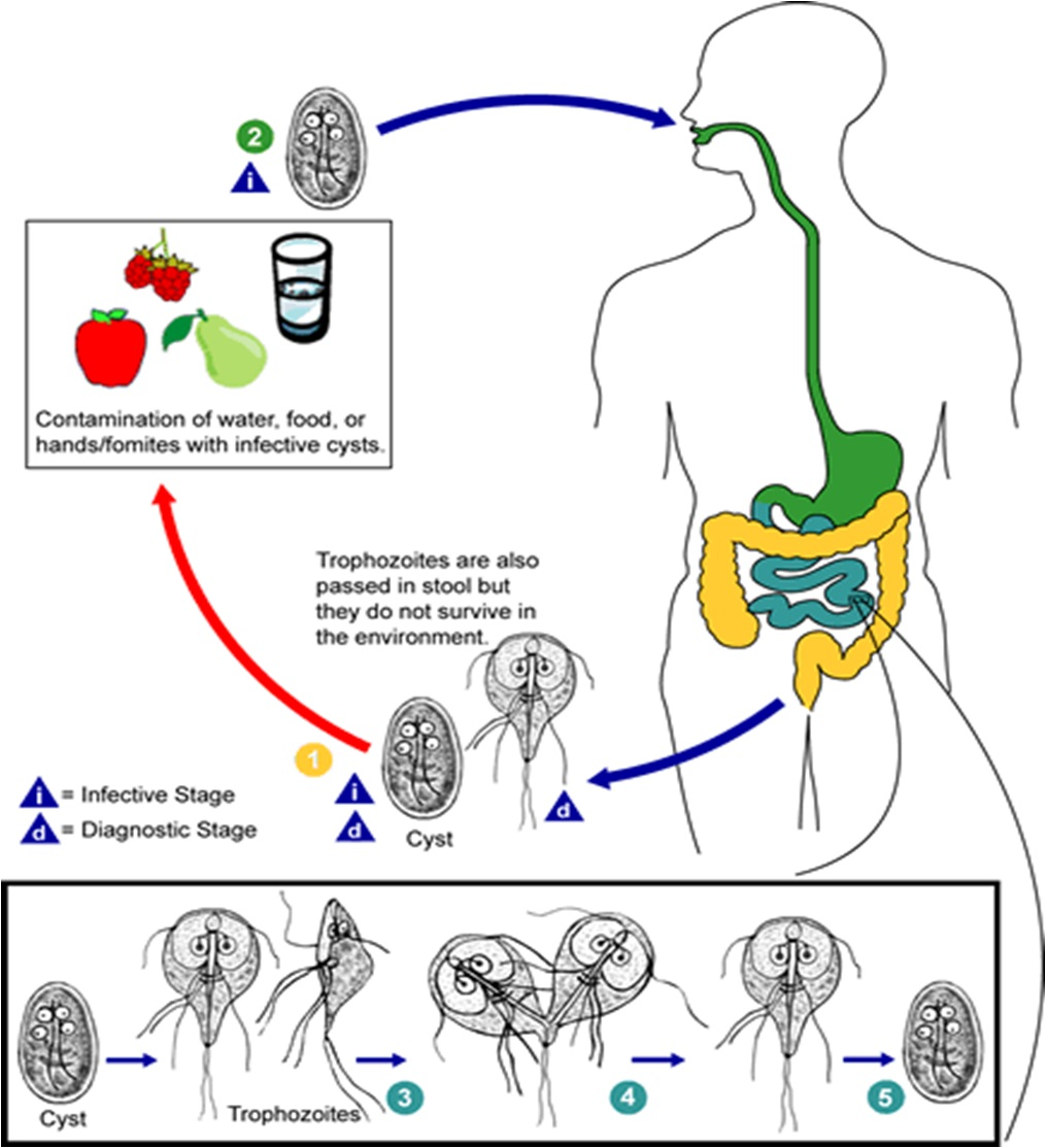Giardia lamblia: Life Cycle, Diseases and laboratory