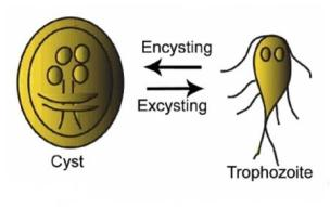 Cyst and Trophozoite of Giardia lamblia showing Encystation-excystation cycle