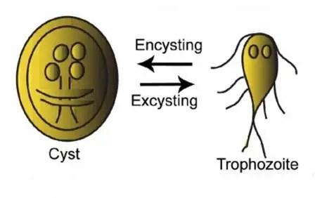 Cyst and Trophozoite of Giardia lamblia showing Encystation-excystation cycle