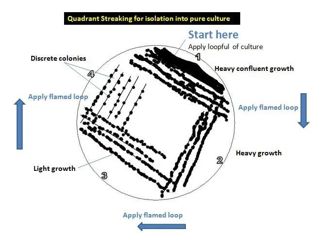 Quadrant Streaking for isolation into pure culture