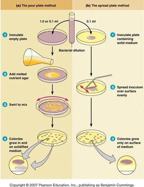 Pour plate Method: Principle, Procedure, Uses, and (Dis) Advantages