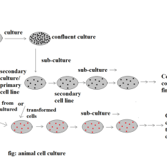 Human And Animal Cells Diagram Obd0 To Obd2 Alternator Wiring Cell Culture: Introduction, Types, Methods Applications