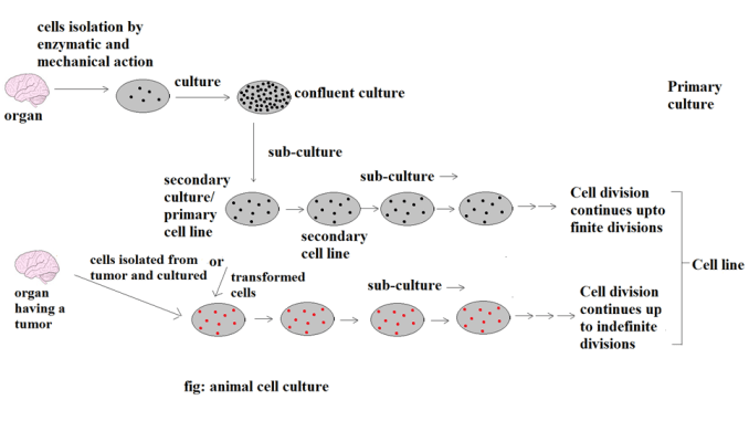 fig: animal cell culture