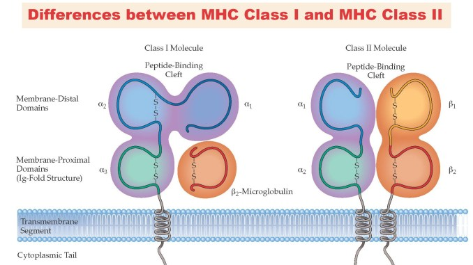 Difference between MHC Class I and MHC Class II