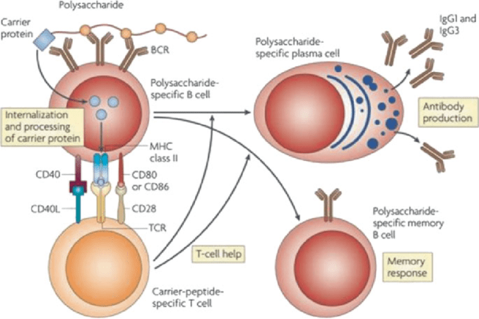 Generation of IgG response against polysaccharide antigen by conjugate vaccine