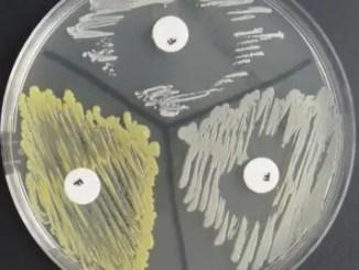 Furazolidone disk test