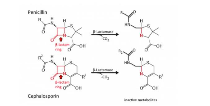 Hydrolysis of penicillins & cephalosporin antibiotics by beta-lactamase