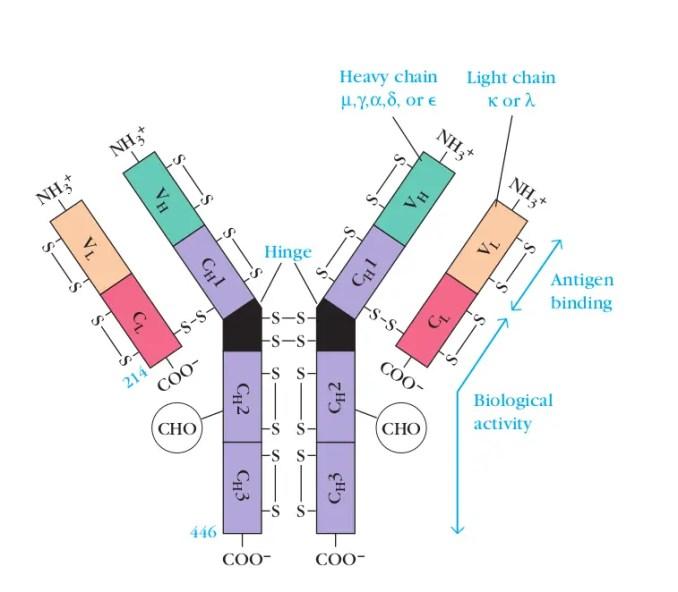 Basic structure of an Immunoglobulin